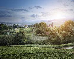 Vinice v kraji Champagne