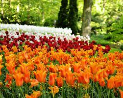 Keukenhof - květinové království