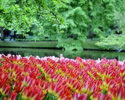 Tulipány, kam se podíváte...