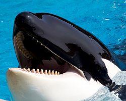 """Kosatka, nebo """"velryba zabiják"""" (Killer Whale)"""