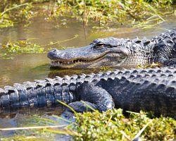 Mokřiny plné aligátorů NP Everglades