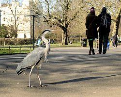 Volavka v Regent´s Royal Parku