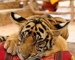 Tygr v Thajsku