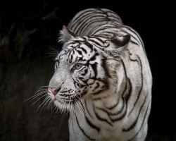 Bílého tygra zhlédnete v ZOO v Al Ain