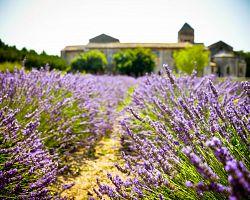 Levandulová pole v Provence