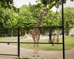 Žirafy ve vídeňské ZOO