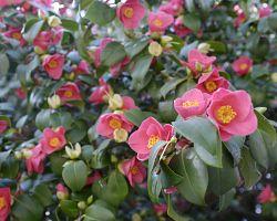 Květy kamélie