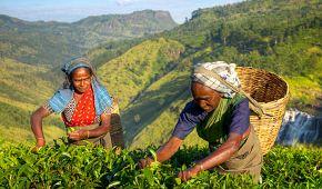 Srílanské sběračky čajových lístků