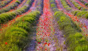 Květinové esence – základ francouzských parfémů