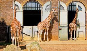 Žirafy v londýské zoo