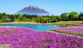 Květinový festival Shibazakura u hory Fudzi