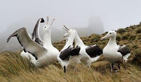 Albatros královský na poloostrově Otago