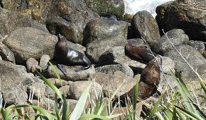 Lachtani u Cape Foulwind