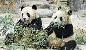 Pandy v pekingské zoo