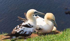 Ptáci terejové na Helgolandu