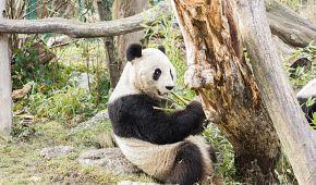 Pandy ve Vídeňské ZOO