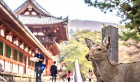 Japonský jelen v parku Nara-koén