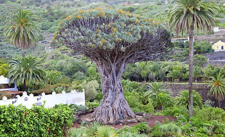 Symbol Tenerife strom Dragon tree
