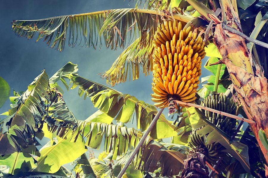 Madeira_bananove_plantaze.jpg