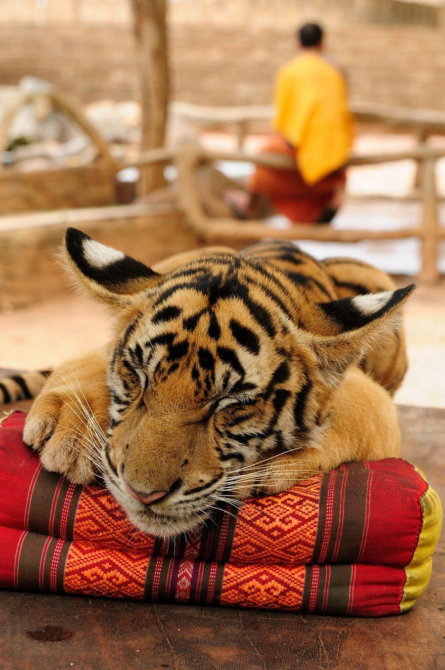 Thajsko_tygr