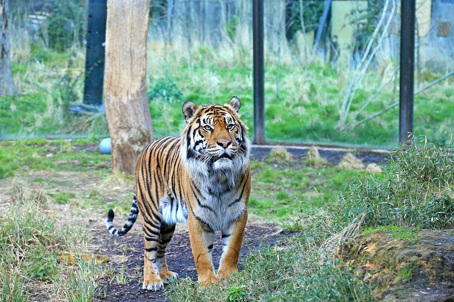 Tygr v londýnské zoo