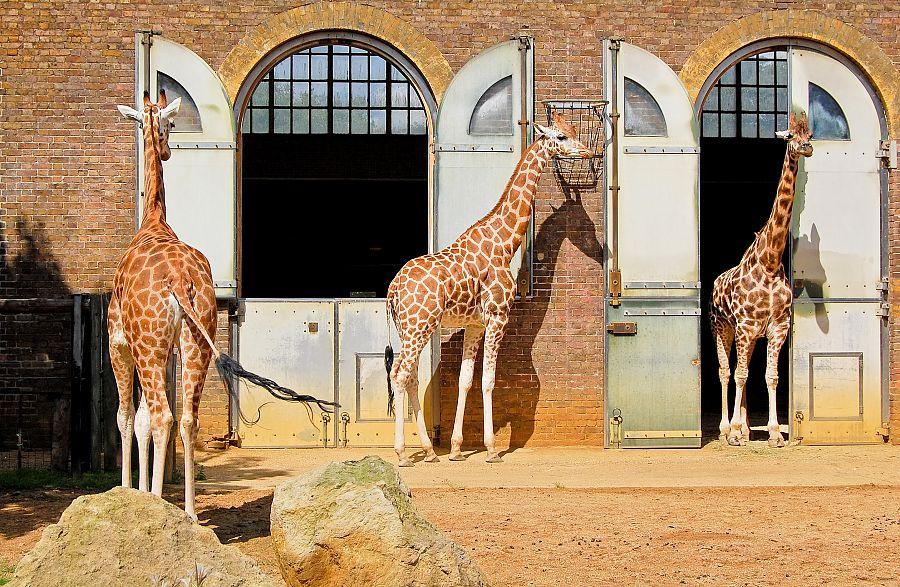 Žirafy v londýnské zoo