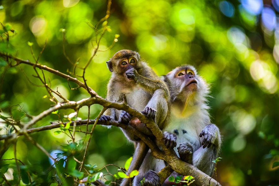 Montagne des Singes opice