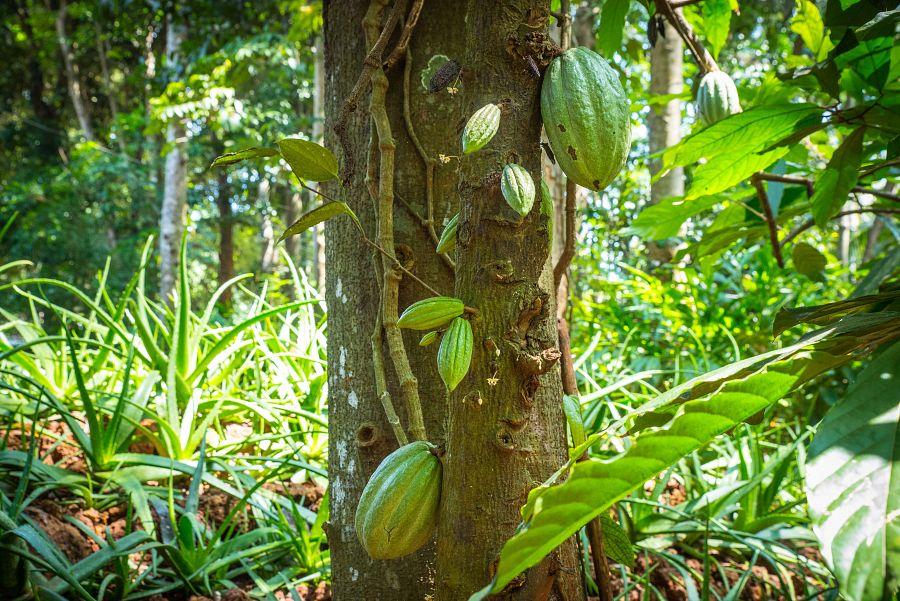 Sri_Lanka_exoticka_zahrada_cokolada.jpg
