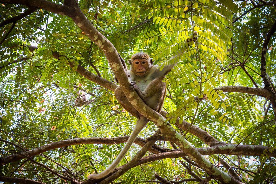 Sri_Lanka_opice_strom.jpg